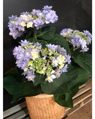 Summer flowering  Hydrangea Plant