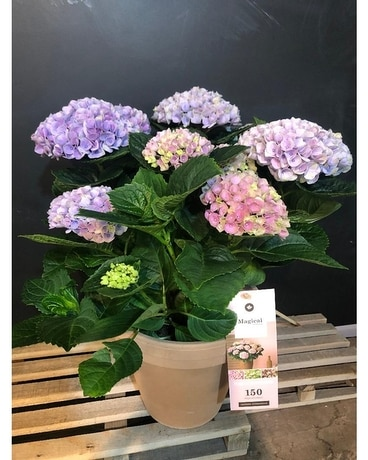 Indoor flowering hydrangea Plant